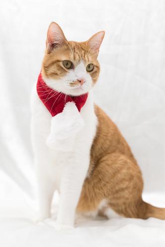 アトリエイエネコ Cat Photographer 38973916731_034e29b1f6 1日1猫! 保護猫カフェねこんチ うっちゃん 1日1猫!  猫 保護猫カフェねこんチ 保護猫 cat