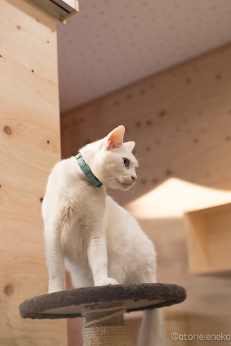 アトリエイエネコ Cat Photographer 25684792528_a54fae862b 1日1猫! 保護猫とカフェ 夕暮れ時のニャンとぴあ 1日1猫!  里親様募集中 猫 大阪 写真 保護猫 ニャンとぴあ Kitten Cute cat