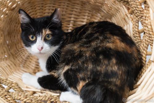 アトリエイエネコ Cat Photographer 25241106688_61fa9ebe4f 1日1猫!里親様募集中のミケコちゃんです♪ 1日1猫!  高槻ねこのおうち 里親様募集中 猫 子猫 大阪 保護猫 cat
