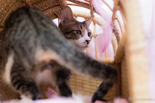 アトリエイエネコ Cat Photographer 25549573168_55439fa4f3 1日1猫!高槻ねこのおうち 里親様募集中空君 1日1猫!  高槻ねこのおうち 里親様募集中 猫 大阪 写真 保護猫カフェけやき 保護猫 スマホ カメラ cat