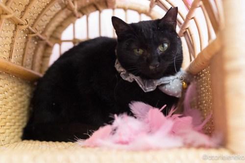 アトリエイエネコ Cat Photographer 24553428607_1cfa4a34f5 1日1猫!高槻ねこのおうち 里活中のねこたにさん♪ 1日1猫!  黒猫 高槻ねこのおうち 里親様募集中 猫写真 猫カフェ 猫 子猫 大阪 初心者 写真 保護猫 Kitten Cute cat