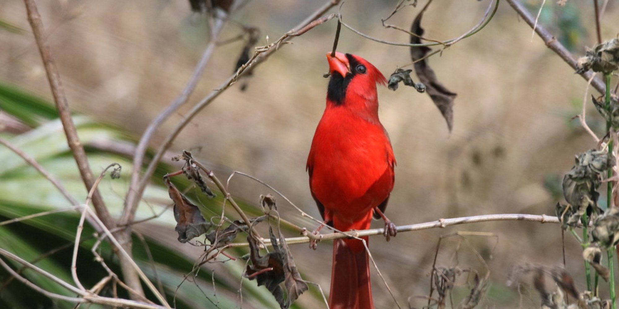 """This NORTHERN CARDINAL works hard to get the seeds out of the little """"Bean-pod"""" at Circle B Bar Reserve, Lakeland, Florida"""