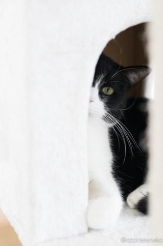 アトリエイエネコ Cat Photographer 40076128221_7e91ae7070 1日1猫!保護猫カフェねこんチ クロちゃん カメラが怖い♪ 1日1猫!  猫写真 猫 大阪 写真 保護猫カフェねこんチ 保護猫カフェ 保護猫 Kitten Cute cat