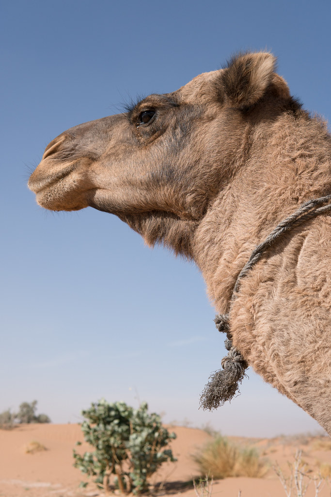Our pensive camel