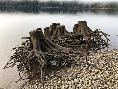 Buttle Lake - tree stum spider