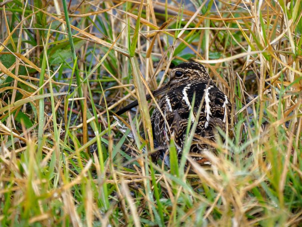 Wilson's Snipe in the grass