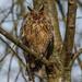Waldohreule - Long Eared Owl - Asio Otus