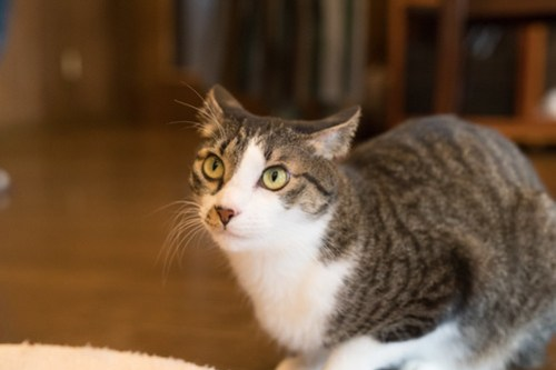 アトリエイエネコ Cat Photographer 25916187678_858cda35fa 1日1猫!CaraCatCafe 初めまして! 1日1猫!  箕面 猫写真 猫 子猫 大阪 写真 保護猫カフェ 保護猫 スマホ カメラ Kitten Cute cat caracatcafe