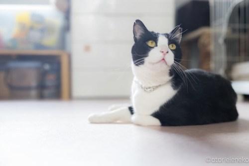 アトリエイエネコ Cat Photographer 26347200848_11c3429d2d 日1猫!おおさかねこ俱楽部 タビくんタビ立つ🎶 1日1猫!  猫写真 猫 子猫 大阪 写真 保護猫 スマホ カメラ おおさかねこ倶楽部 Lightroom Kitten Cute cat