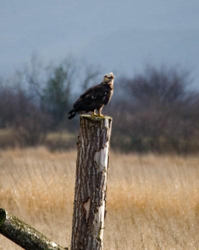 Eagles in Skagit Valley-022