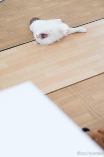 アトリエイエネコ Cat Photographer 40604583051_1cffbf3a47 1日1猫!保護猫カフェ&猫ホテルねこんチ 里親様募集中の徳川くん♪ 1日1猫!  里親様募集中 猫写真 猫 子猫 大阪 写真 保護猫カフェねこんチ 保護猫カフェ 保護猫 スマホ カメラ Kitten Cute cat