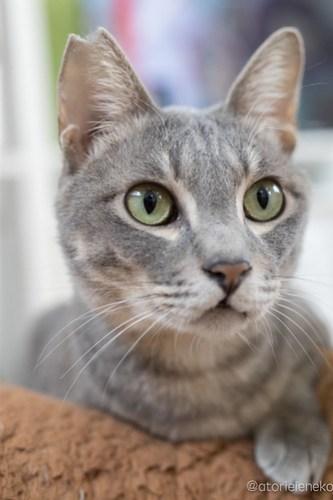 アトリエイエネコ Cat Photographer 28296047669_ea7e24d732 1日1猫!保護猫カフェねこんチ 里親様募集中の源くん♪ 1日1猫!  里親様募集中 猫写真 猫 大阪 初心者 写真 保護猫カフェねこんチ 保護猫カフェ 保護猫 Kitten Cute cat