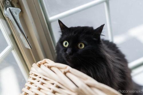 アトリエイエネコ Cat Photographer 28177608489_ea9abc3067 1日1猫!高槻ねこのおうち 里親様募集中のくろのすけくん♪ 未分類  黒猫 高槻ねこのおうち 里親様募集中 猫写真 猫 大阪 写真 保護猫 カメラ Kitten Cute cat