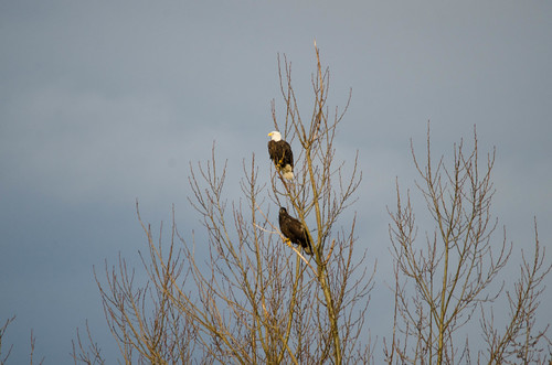 Eagles in Skagit Valley-001
