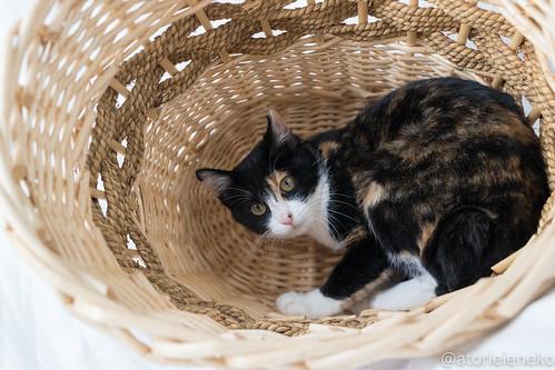 アトリエイエネコ Cat Photographer 38225755045_ea86809c7a 1日1猫!里親様募集中のミケコちゃんです♪ 1日1猫!  高槻ねこのおうち 里親様募集中 猫 子猫 大阪 保護猫 cat
