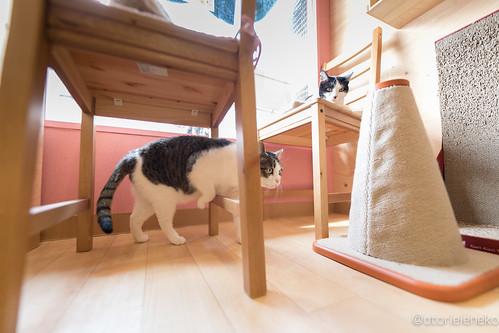 アトリエイエネコ Cat Photographer 25374043388_ef13b628af 保護猫とカフェ『ニャンとぴあ』