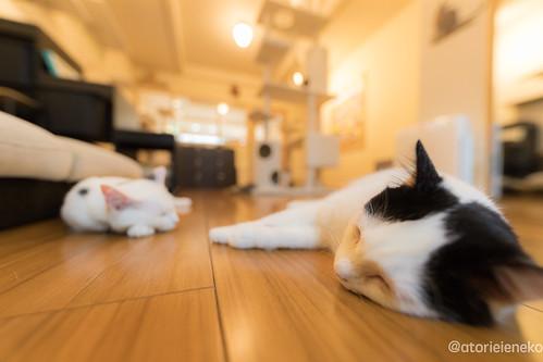 アトリエイエネコ Cat Photographer 39507050262_986026dbfc 猫カフェ みーちゃ・みーちょ