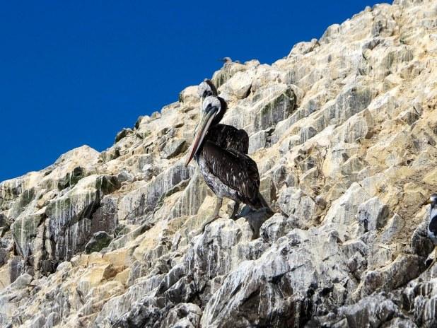 Aves durante el tour a las islas Ballestas