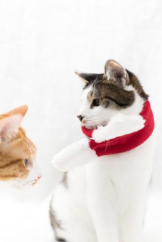 アトリエイエネコ Cat Photographer 38257879054_f1e3a31d23 1日1猫!保護猫カフェねこんチ 1日1猫!  猫 保護猫カフェねこんチ 保護猫 cat