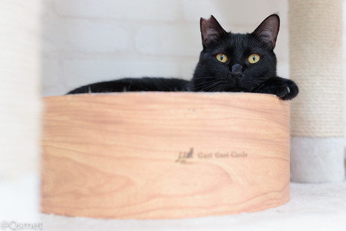 アトリエイエネコ Cat Photographer 39357579292_dc081786cd シェルター型幸せ探し猫カフェQsmet(くすめっと)
