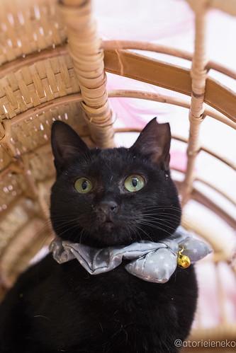 アトリエイエネコ Cat Photographer 24553424887_5f6b316216 1日1猫!高槻ねこのおうち 里親様募集中のねこたにさんです♬ 1日1猫!  高槻ねこのおうち 猫写真 猫 子猫 大阪 写真 保護猫 スマホ カメラ cat