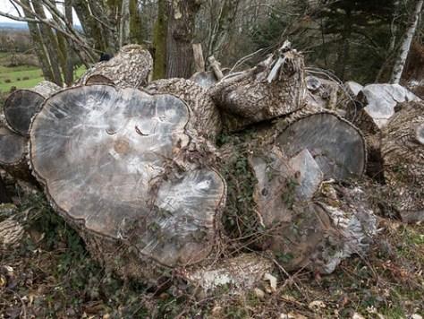 Firewood, oaktree