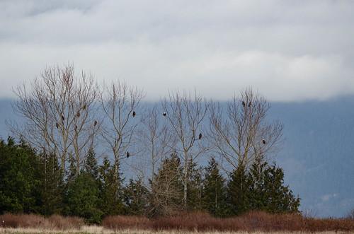 Eagles in Skagit Valley-002
