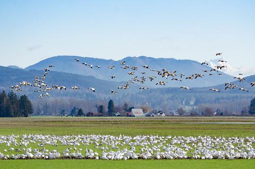 Fir Island Snow Geese-018