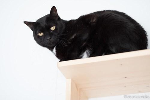 アトリエイエネコ Cat Photographer 25475807057_8b6e161a0c 1日1猫!高槻ねこのおうち 里親様募集中のボスくん♪ 1日1猫!  黒猫 高槻ねこのおうち 里親様募集中 猫写真 猫 子猫 大阪 写真 保護猫 Kitten Cute cat