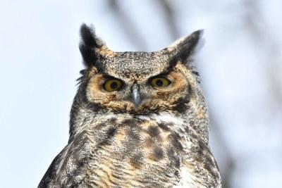 Grand-duc d'Amérique portrait--Great Horned Owl portrait(Bubo virginianus)