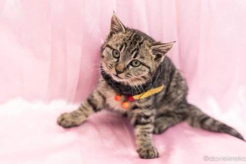 アトリエイエネコ Cat Photographer 26222648848_4333f28cd4 1日1猫!高槻ねこのおうち ティアラちゃん♪ 1日1猫!  高槻ねこのおうち 里親様募集中 猫写真 猫 子猫 大阪 写真 保護猫 スマホ キジ猫 Kitten Cute cat