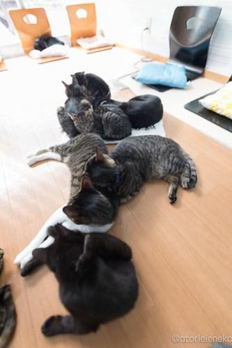 アトリエイエネコ Cat Photographer 26485448878_4eae683f78 猫カフェきぶん屋