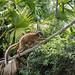 Golden lemur