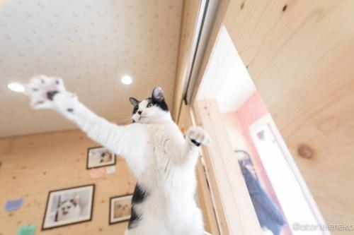 アトリエイエネコ Cat Photographer 39560187545_7c92317bde 1日1猫!保護猫とカフェ ニャンとぴあ 里親様募集中のサラちゃん♪ 1日1猫!  里親様募集中 猫写真 猫カフェ 猫 子猫 大阪 写真 保護猫カフェ 保護猫 ハチワレ ニャンとぴあ スマホ カメラ おおさかねこ倶楽部 Kitten Cute cat