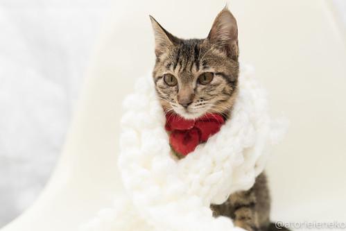 アトリエイエネコ Cat Photographer 39653985892_b4f207a12d 1日1猫!高槻ねこのおうち 里親募集中のリンちゃん♪ 1日1猫!  高槻ねこのおうち 里親様募集中 猫写真 猫 子猫 大阪 写真 キジ猫 カメラ Kitten Cute cat
