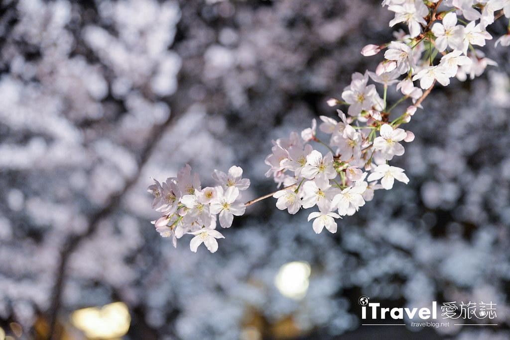 京都赏樱景点 祇园白川 (9)