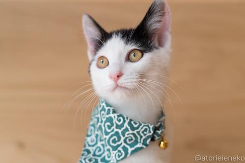 アトリエイエネコ Cat Photographer 27903293249_320303172a 1日1猫!おおさかねこ倶楽部 里親様募集中のジンベエ君です♬ 1日1猫!  里親様募集中 猫写真 猫 子猫 大阪 写真 保護猫 スマホ カメラ おおさかねこ倶楽部 Kitten Cute cat