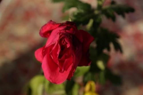 rose2018