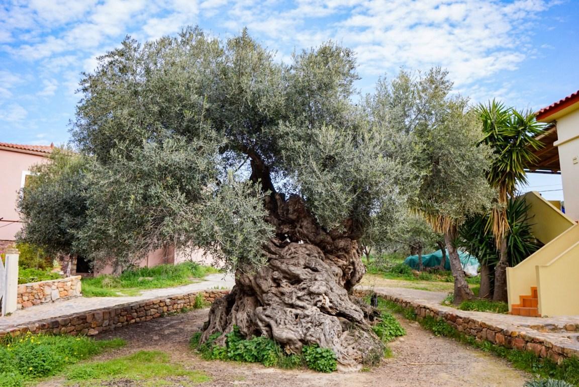 Vouvesin oliivipuu, Kreeta