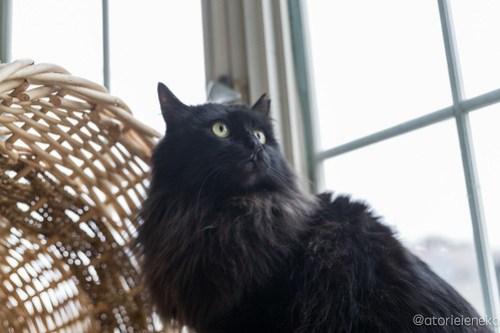 アトリエイエネコ Cat Photographer 28177610389_0e6886243f 1日1猫!高槻ねこのおうち 里親様募集中のくろのすけくん♪ 未分類  黒猫 高槻ねこのおうち 里親様募集中 猫写真 猫 大阪 写真 保護猫 カメラ Kitten Cute cat