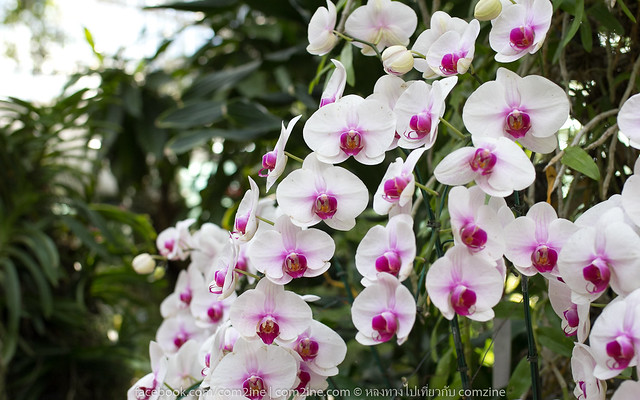 Orchid zone