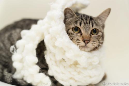 アトリエイエネコ Cat Photographer 24816293647_f41889c6dc 1日1猫!高槻ねこのおうち りぼんちゃん♪ 1日1猫!  高槻ねこのおうち 里親様募集中 猫写真 猫 子猫 大阪 写真 保護猫 マフラー スマホ キジ カメラ Kitten Cute cat