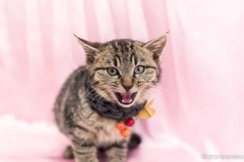 アトリエイエネコ Cat Photographer 25225077447_6aa7b178f0 1日1猫!高槻ねこのおうち ティアラちゃん♪ 1日1猫!  高槻ねこのおうち 里親様募集中 猫写真 猫 子猫 大阪 写真 保護猫 スマホ キジ猫 Kitten Cute cat