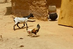 Nigerian goat and native chicken, Langa Langa Village, Nasarawa State, Nigeria, #JujuFilms