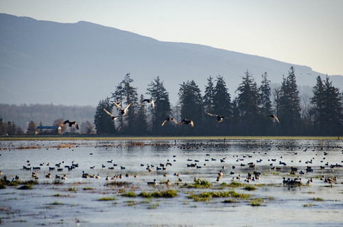 Skagit Morning Birds-9