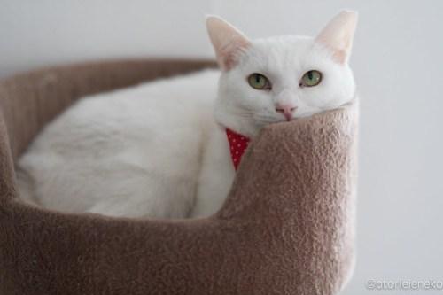 アトリエイエネコ Cat Photographer 25475824387_16c5e575a7 1日1猫!高槻ねこのおうち 里親様募集中のゆきちゃん♪ 1日1猫!  高槻ねこのおうち 里親様募集中 白猫 猫写真 猫 子猫 大阪 写真 保護猫 カメラ Kitten Cute cat