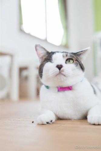 アトリエイエネコ Cat Photographer 28296031559_98f3ebded5 1日1猫!保護猫カフェねこんチ 働き者のサスケくん 1日1猫!  猫写真 猫 子猫 大阪 写真 保護猫カフェねこんチ 保護猫カフェ 保護猫 カメラ Kitten Cute cat