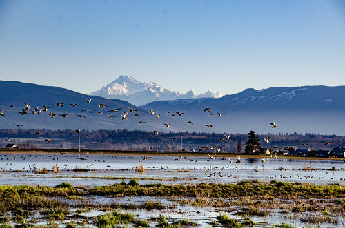 Skagit Morning Birds-10