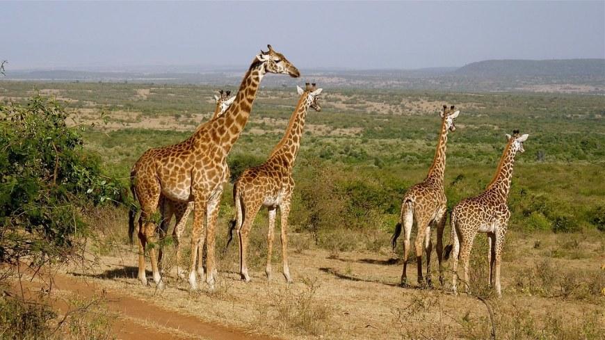giraffes-2615089_1920