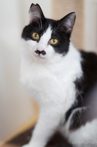 アトリエイエネコ Cat Photographer 39636548114_b4587ff2b1 1日1猫!高槻ねこのおうち 里親様募集中のチョビ助♪ 1日1猫!  高槻ねこのおうち 里親様募集中 猫写真 猫 子猫 大阪 写真 保護猫 カメラ Kitten Cute cat
